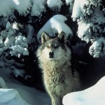 Canis_lupus_standing_in_snow-wolf