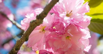 Japanese_Flowering_Cherry_(Prunus_sp.)_(17042003568) by Andrew C