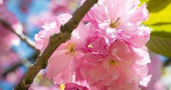 Japanese_Flowering_Cherry_(Prunus_sp.)_(17042003568) by Andrew C