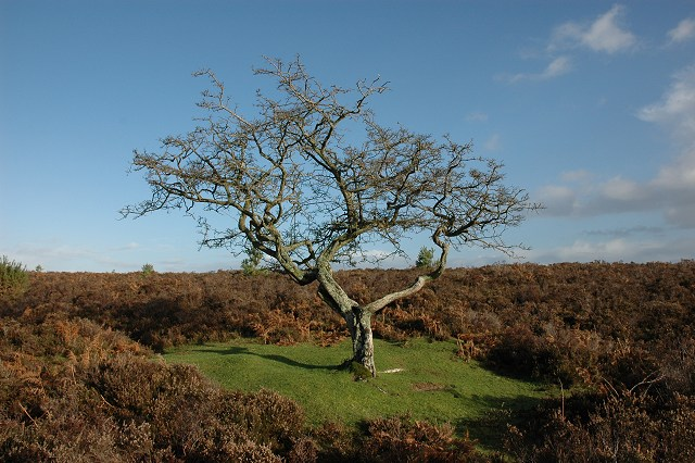 Robin Somes / Hawthorn tree, near Pig Bush